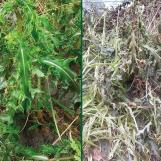 Thistle before and after